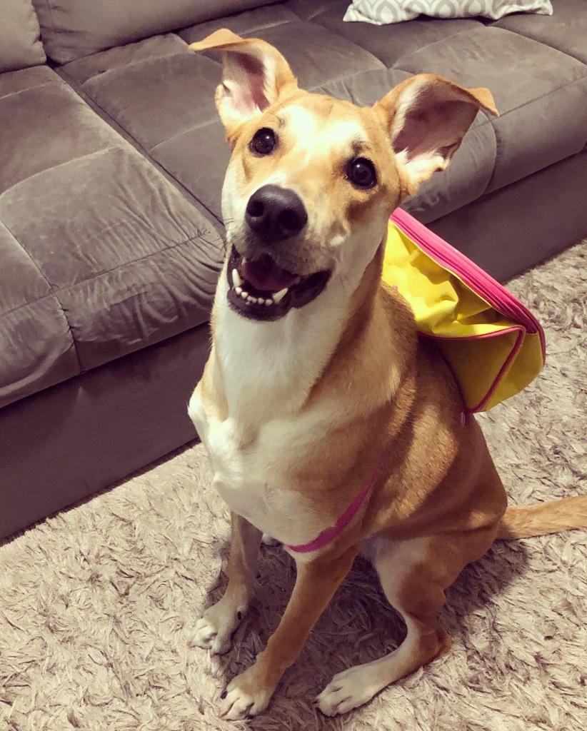 Cachorrinha com mochila nas costas, pronta para o primeiro dia de aula na creche.